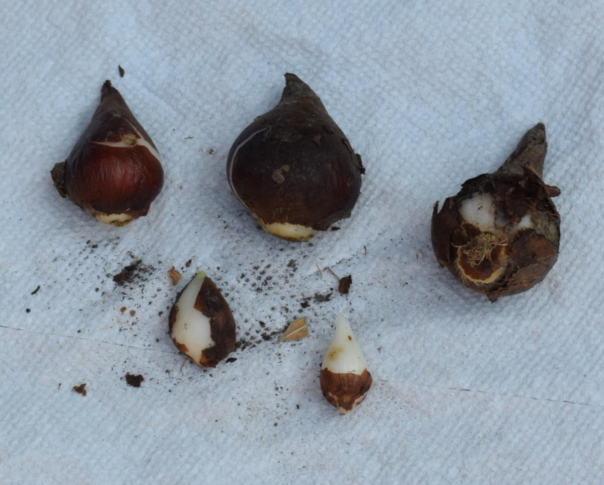 Five tulip bulbs large and small. The bottom of the bulb is wider than the top. Can you see the yellowish roots on the bulb located on the far right?