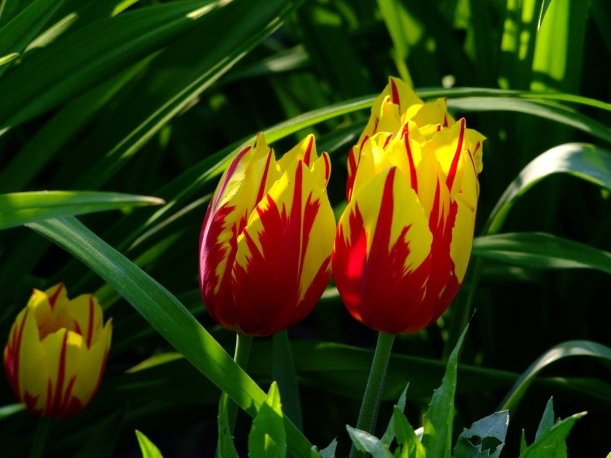 What Are Rembrandt Tulips?