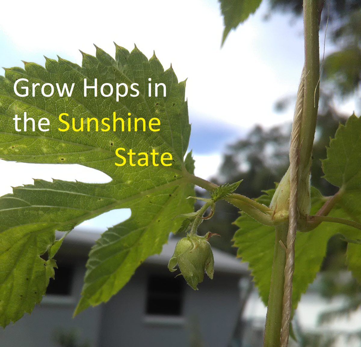 Growing Hops in Florida for Homebrewed Beer