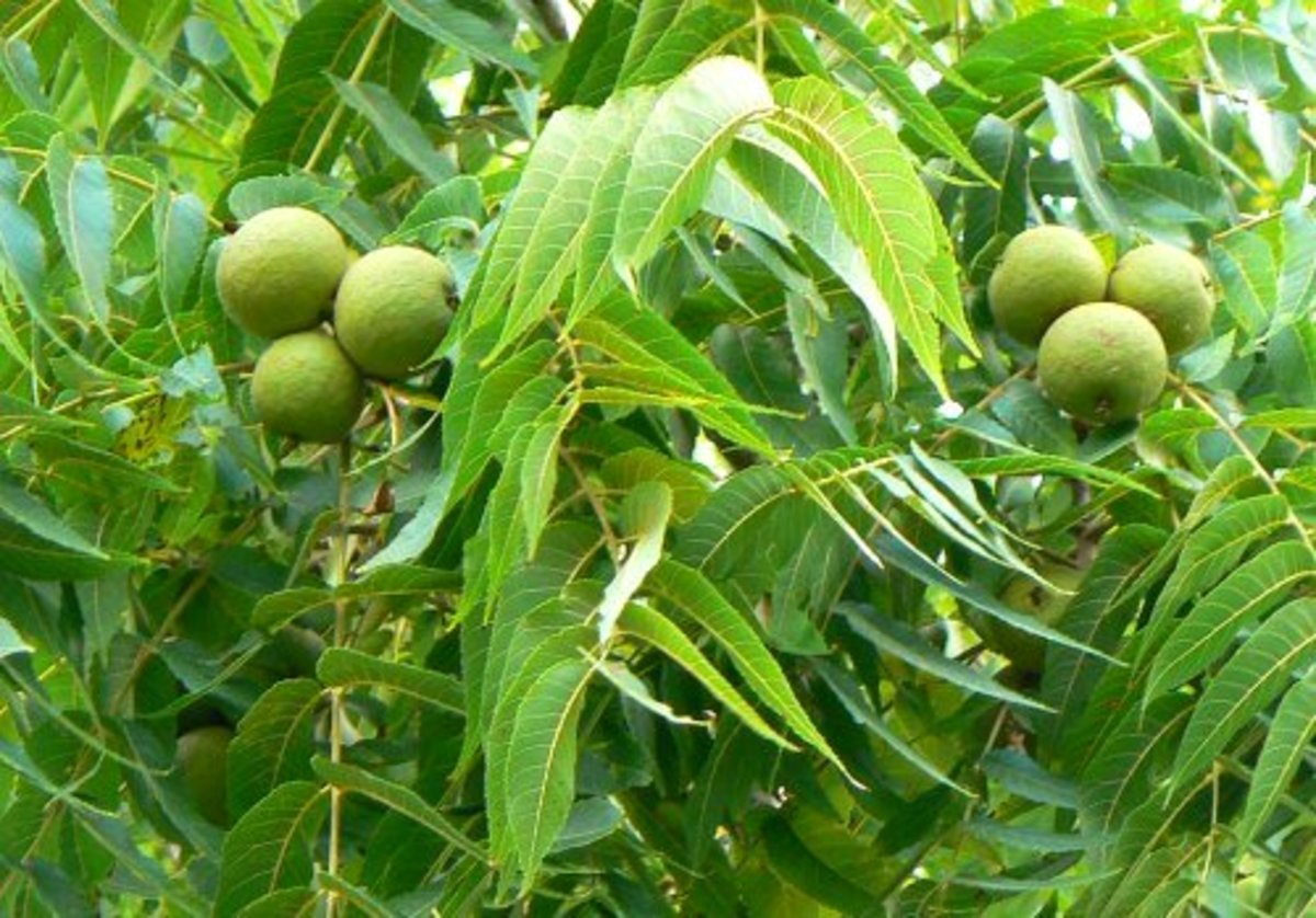 toxicity-of-black-walnut-trees-in-ohio