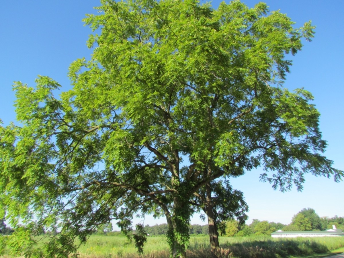 Toxicity of Black Walnut Trees in Ohio