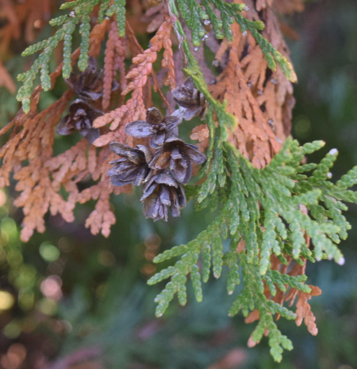 Scale-like foliage of conifer Arborvitae with small cones, ready to drop some old brown leaves.