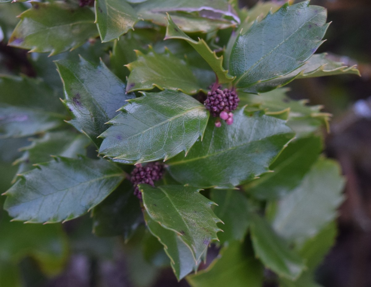 Male broad leaf Holly with tiny flower buds ready to open next spring.