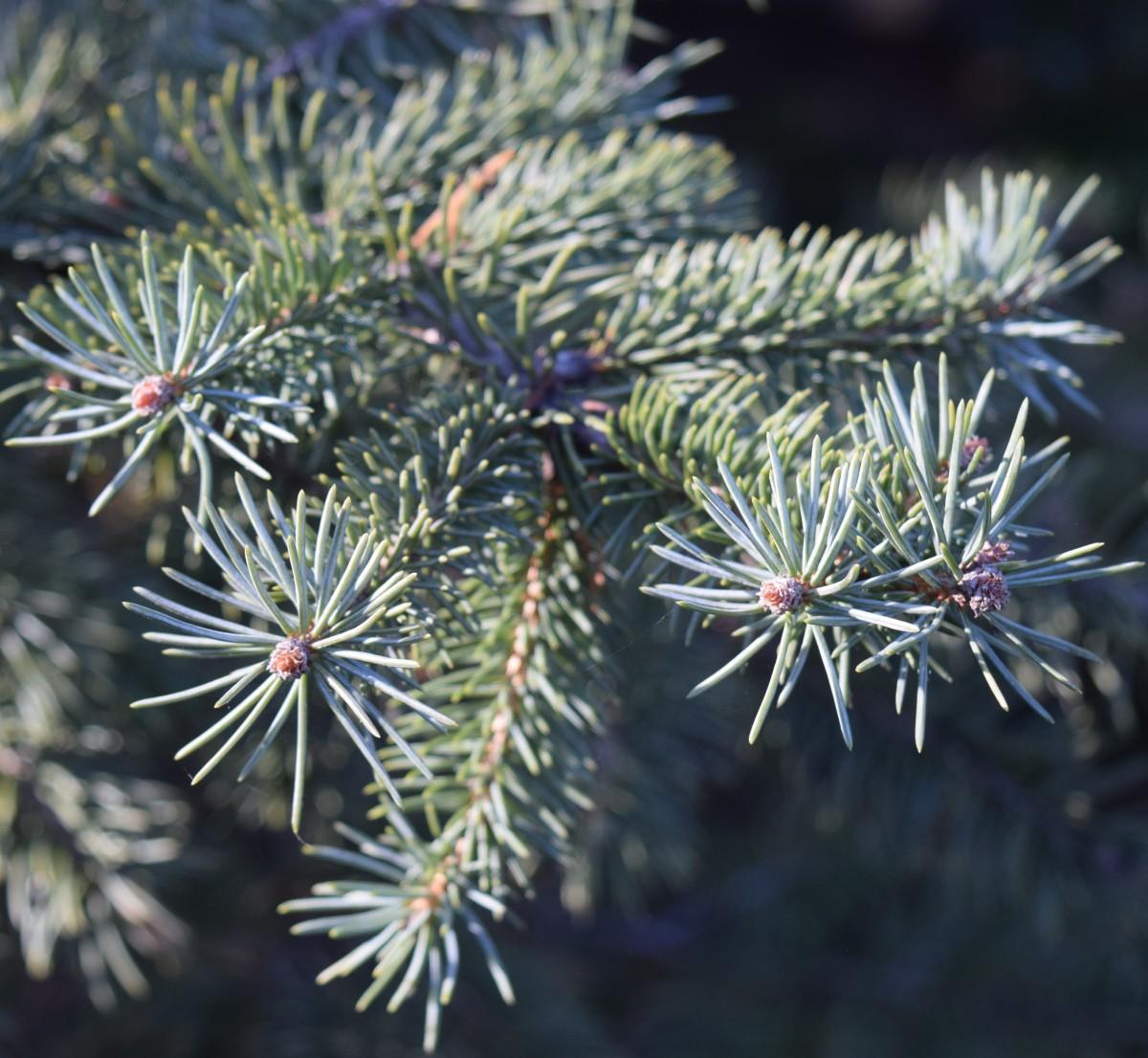 Needle-like foliage of the conifer Blue Spruce.