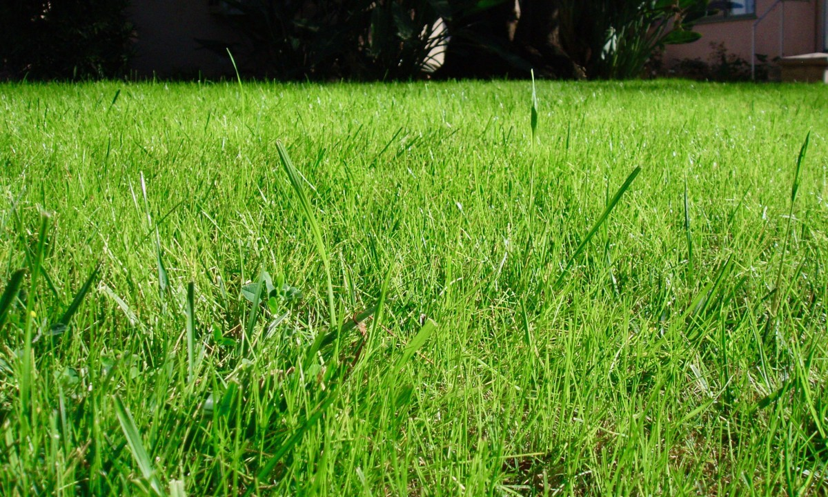 New grass growing is always inspiring. This lawn, as you can see, consists of a mix of grasses. Note the difference in blade widths. The color is fairly consistent, so from far away you don't notice that it's a mix.
