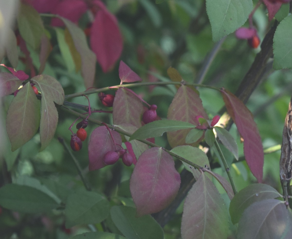 Burning Bush offers berries for birds.