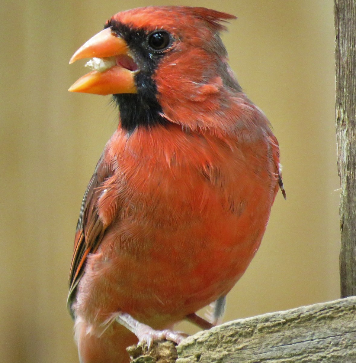 Cardinal takes one seed at a time.