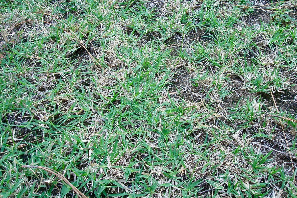 Crabgrass grows outward in a flat circle. It sends toxins into the soil through its roots, so when it dies in fall, the soil stays bare. This is what gives a crabgrass lawn its patchy look.