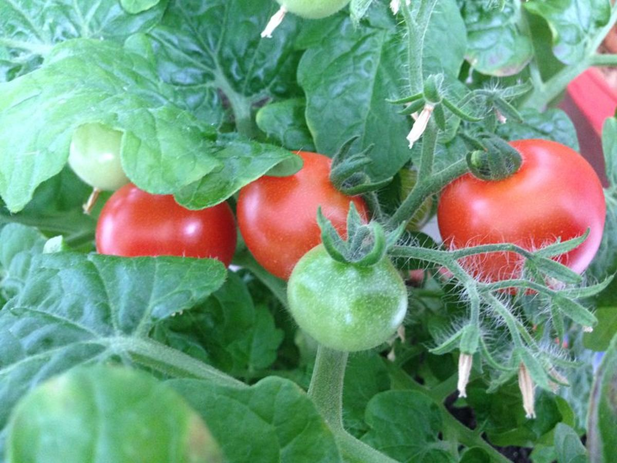 how-to-keep-birds-off-tomato-plants