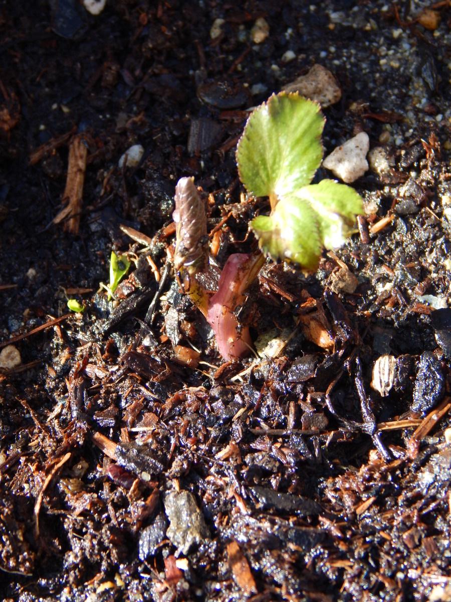 Angelica Seedling in Situ