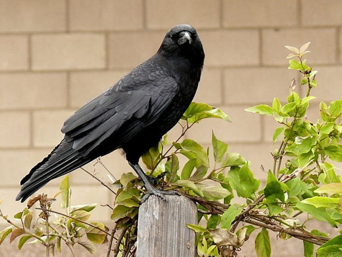 How to Get Rid of Crows in Your Yard or Garden
