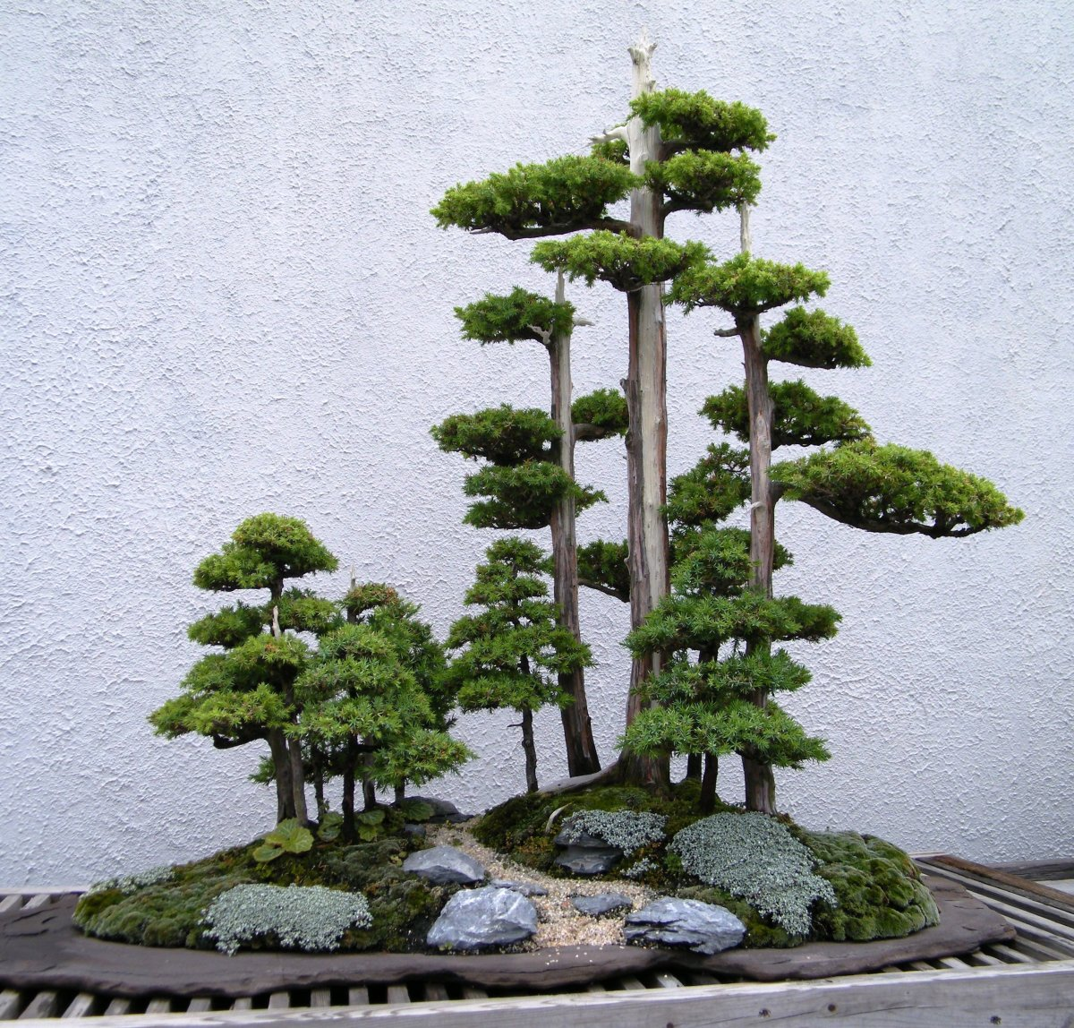 A Foemina Juniper Bonsai Tree. Bonsai's come in many different varieties, each with their own beautiful style.
