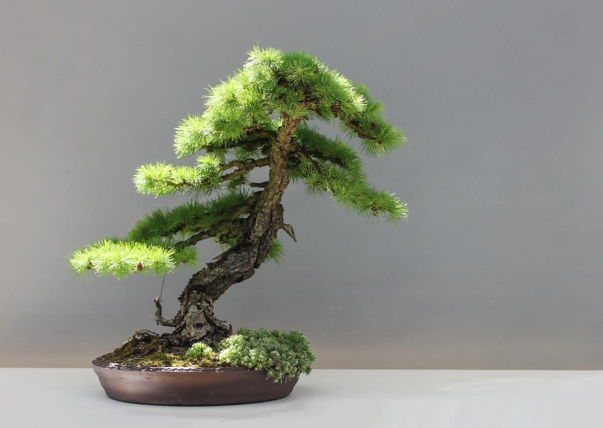 Bonsai's are a beautiful plant that look amazing in modern homes.