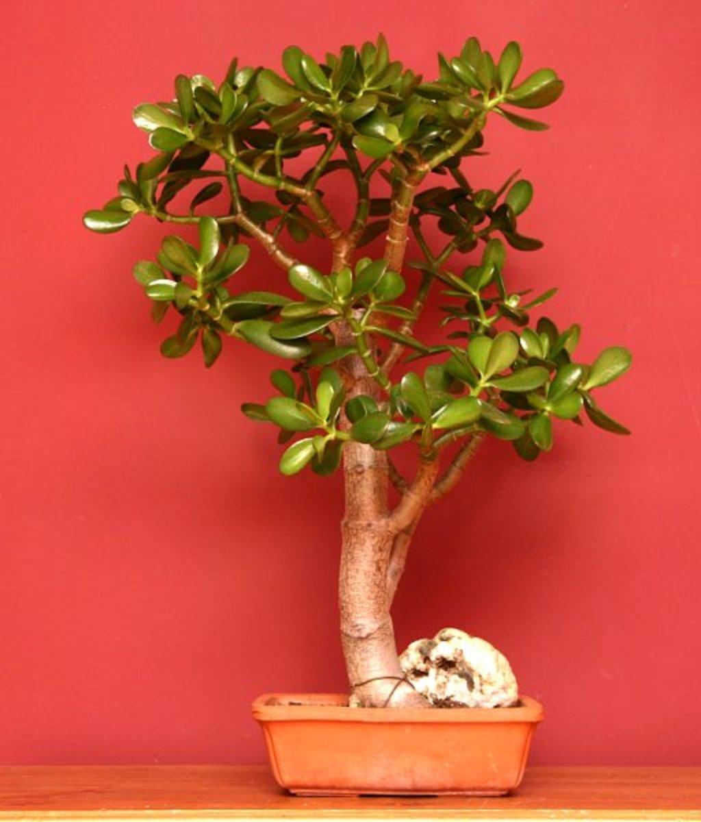 How To Grow A Jade Plant Dengarden Home And Garden