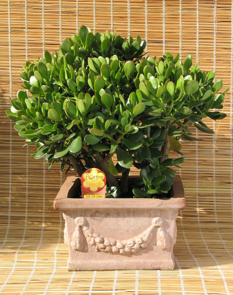 How to Grow a Jade Plant