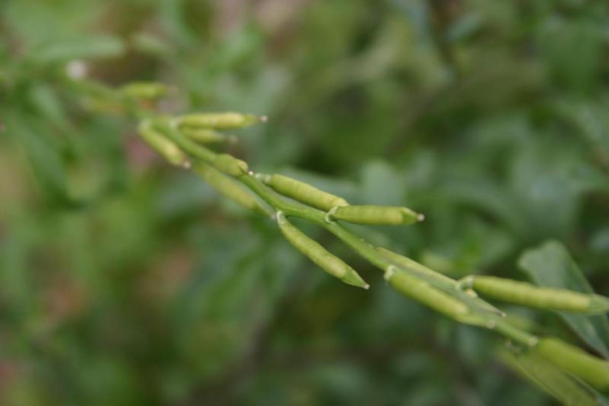 Arugula Seed Pods
