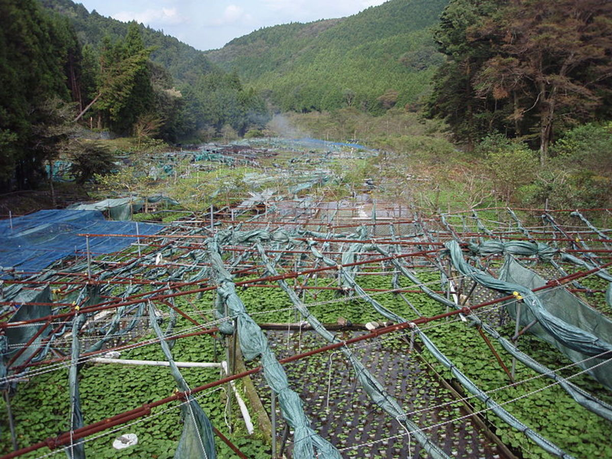 Wasabi fields using a shade cloth system