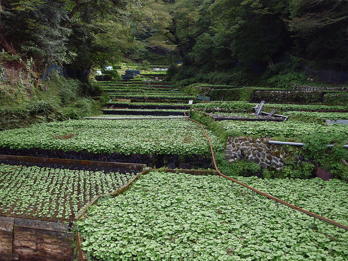 Wasabi fields with naturally occurring shade