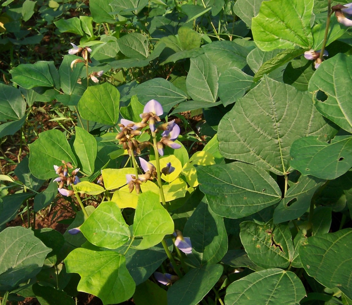 Jicama Vines and Flowers