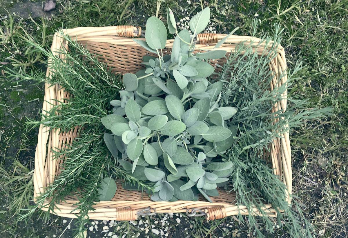Summer harvest of rosemary, sage and lavender.