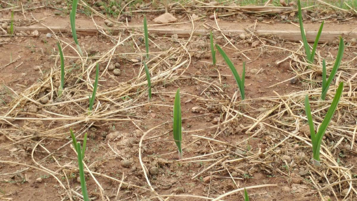 A large crop of garlic can be planted. The length of the green stem depends on the species. The tasty crop should be ready in approximately a month, harvest as needed.