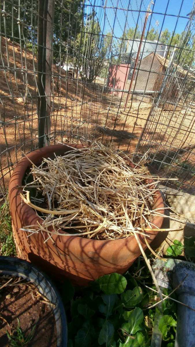 You may plant cloves of garlic in a pot. Do not over stock pot, so the growth of bulbs will not be inhibited. Mulch should be placed over planting, in a pot or patch of soil.