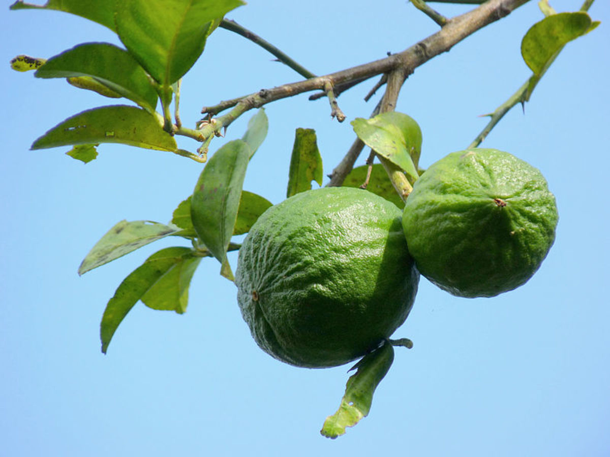 How to Grow a Key Lime Tree Indoors or Outdoors