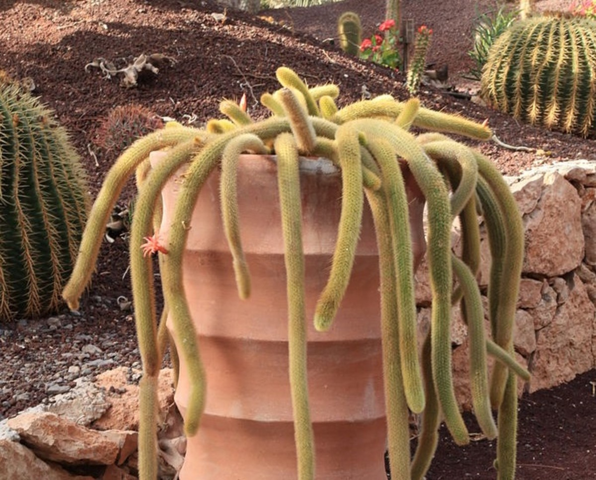 A Cleistocactus Winteri Cactus identifiable by the unique way in which it grows from its pot.