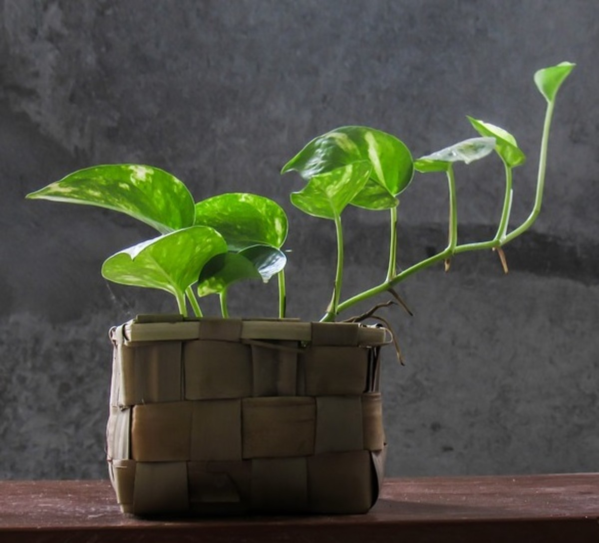 The famous Pothos Plant is beautiful, easy to maintain, and fast growing.