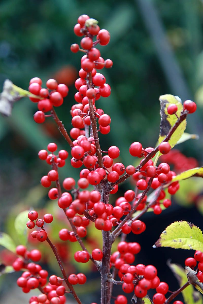 How to Grow Winterberry, a Native Plant, for Winter Interest