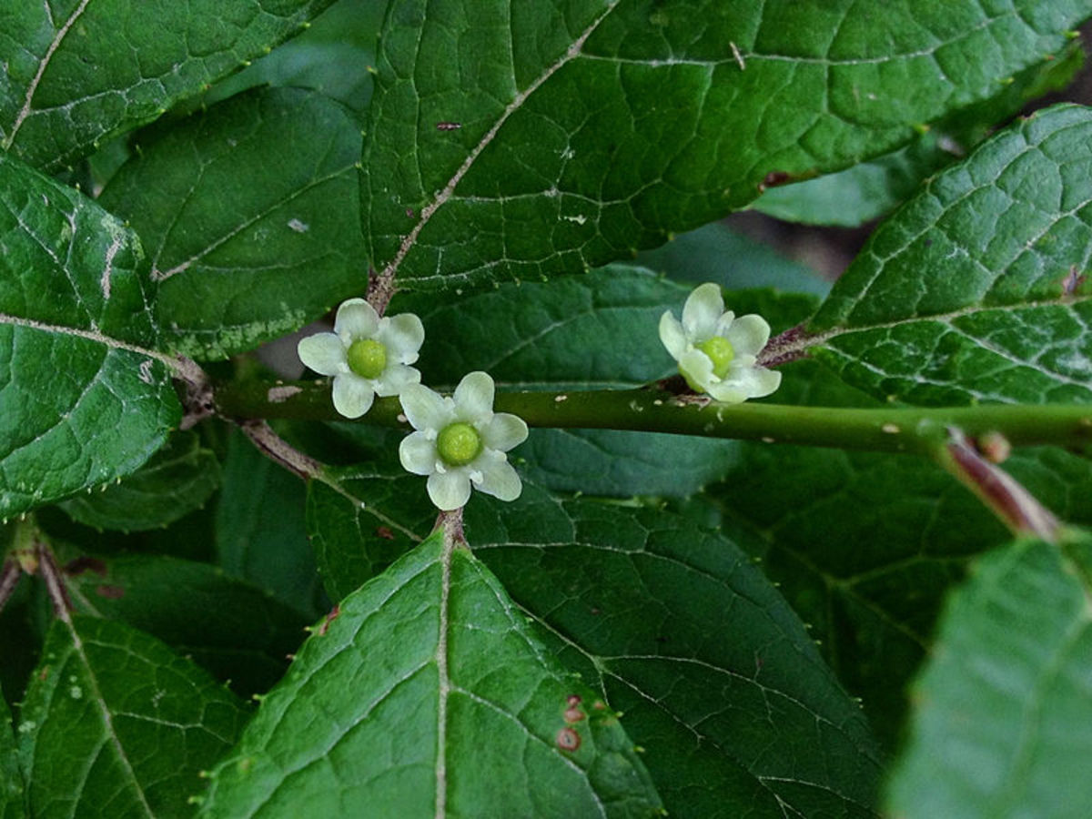 Flowers on a female winterberry