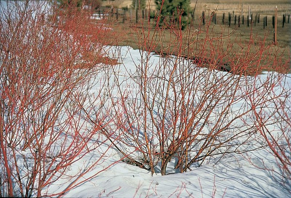 How to Grow Red Twig Dogwood for Winter Interest