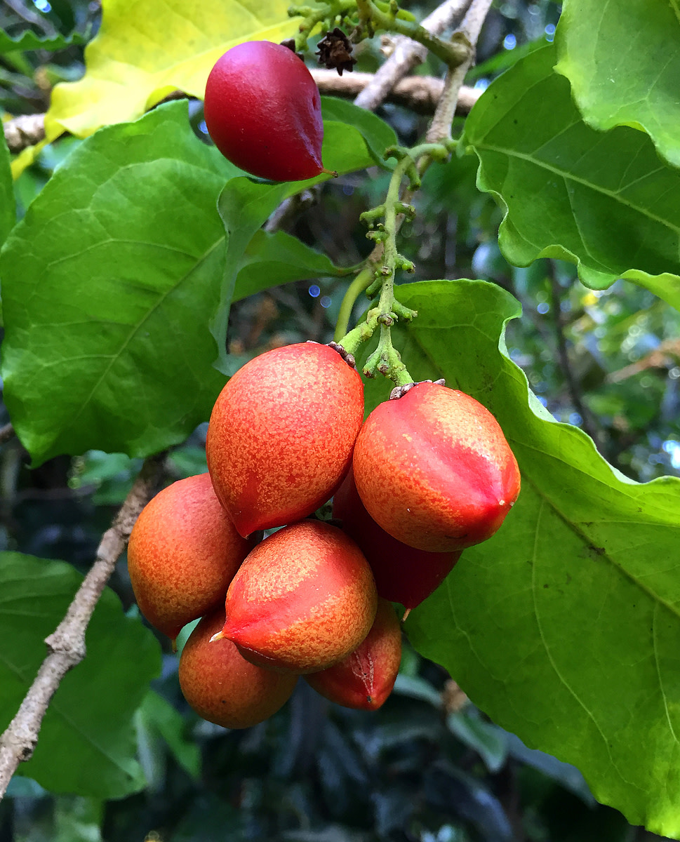 Tropical Taste of Hawaii: The Peculiar Peanut Butter Fruit