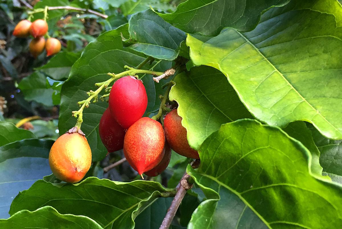 Ripening fruits.