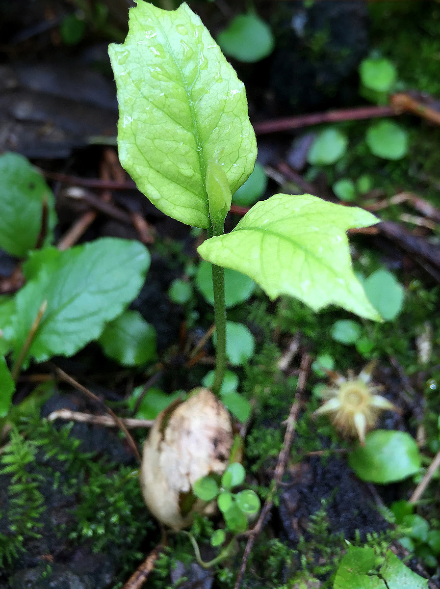Young seedling sprouts from seed.