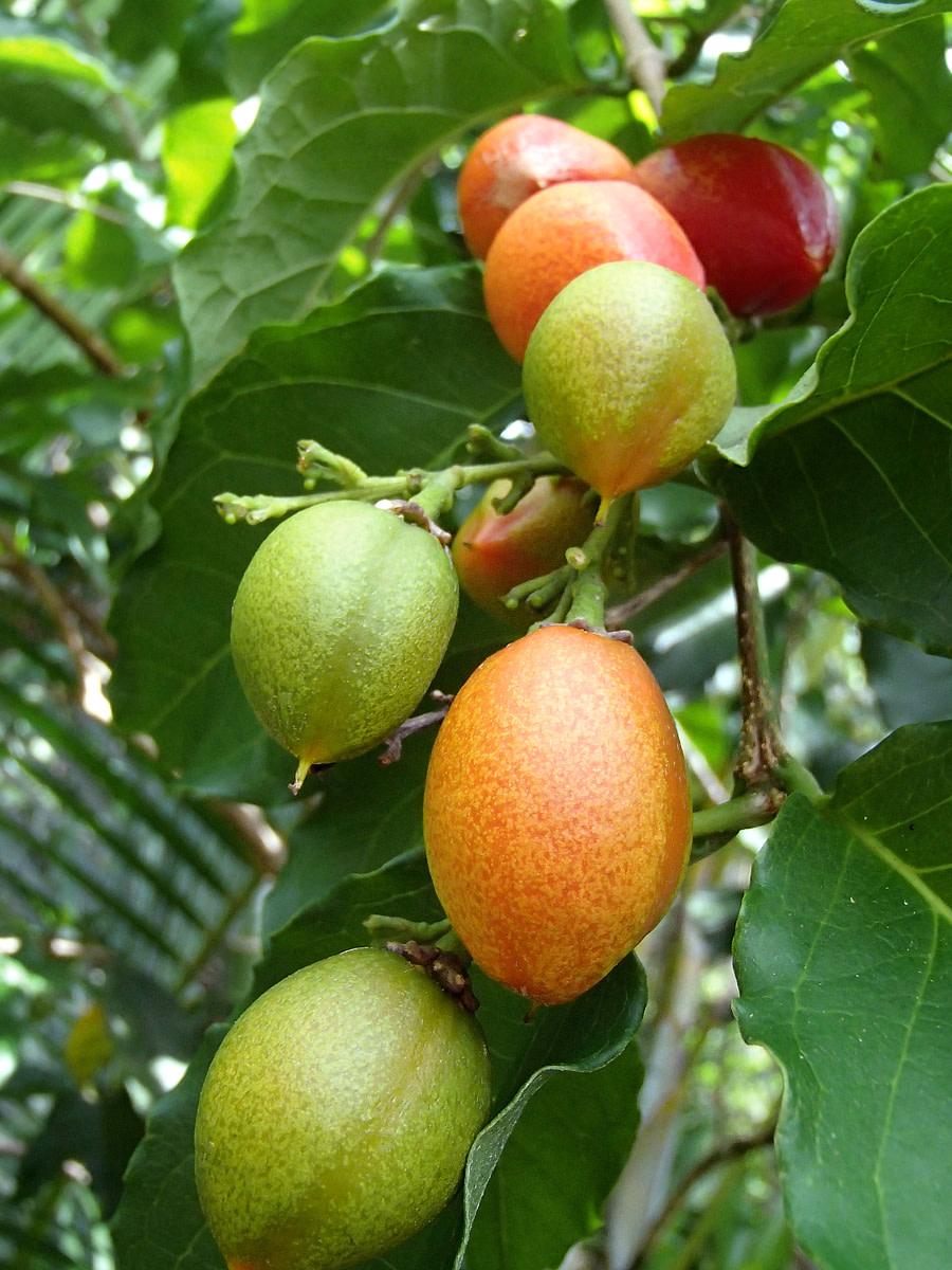 Unripe green and orange fruits.