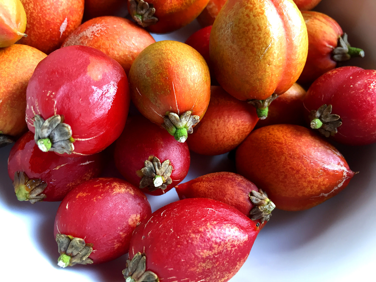 Ripe fruits (red) ready for eating.