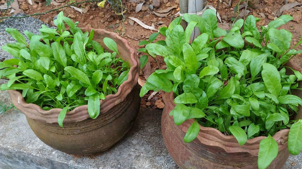 Spinach can be grown in containers
