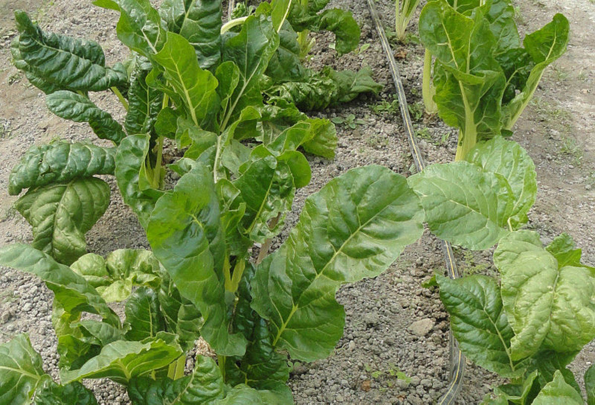 Savoy Spinach showing its wrinkled leaves