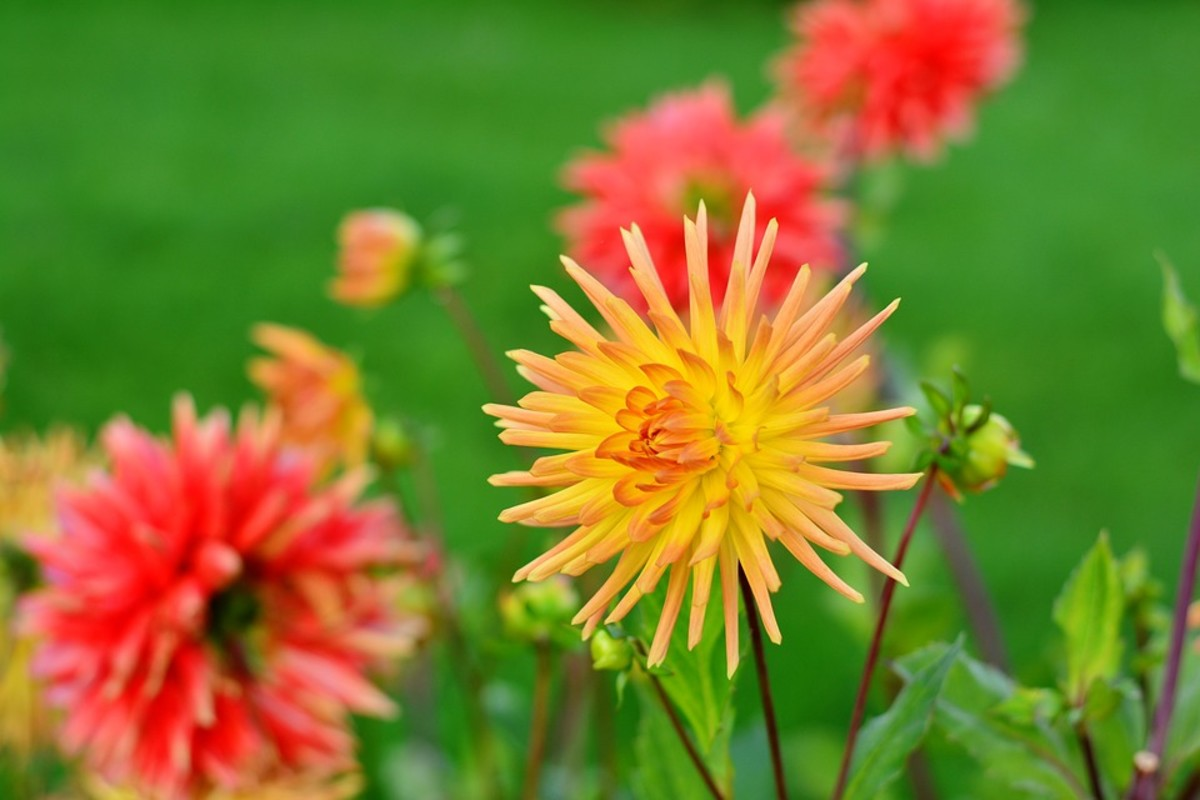 Cactus Dahlias.  Cactus flowered zinnias are nearly identical.  Not surprising because zinnias are in the same family as dahlias.
