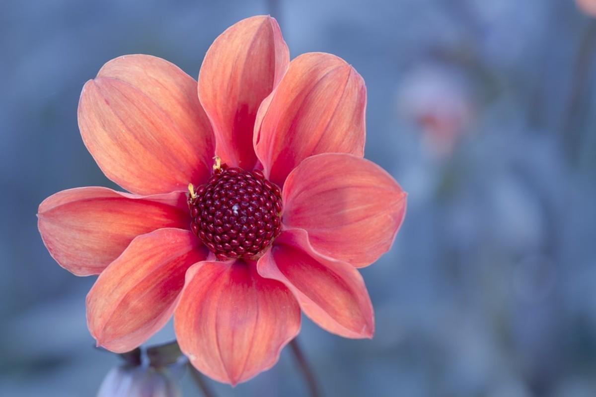 A modern single dahlia which resembles its ancestors