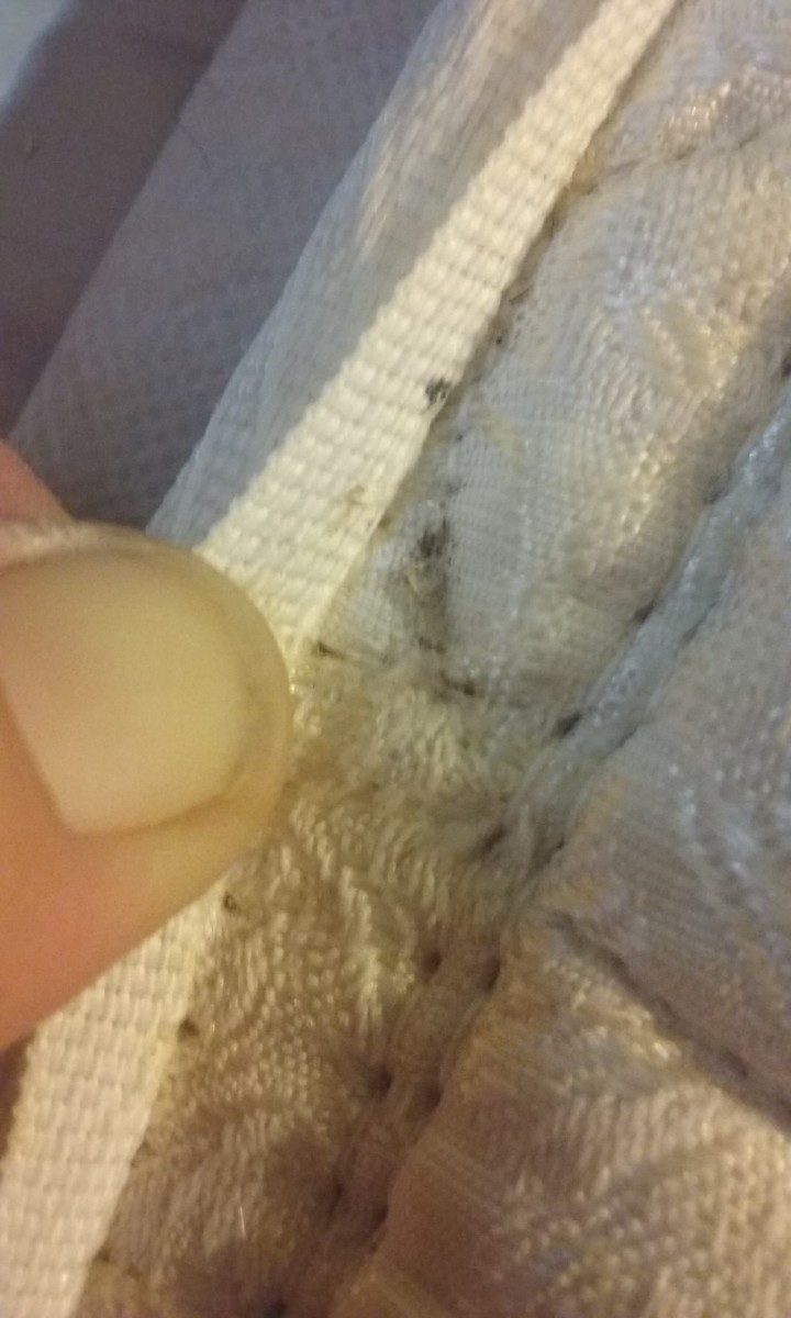Bed bug eggs (white/tan) and fecal matter (black) in the seam of the mattress.