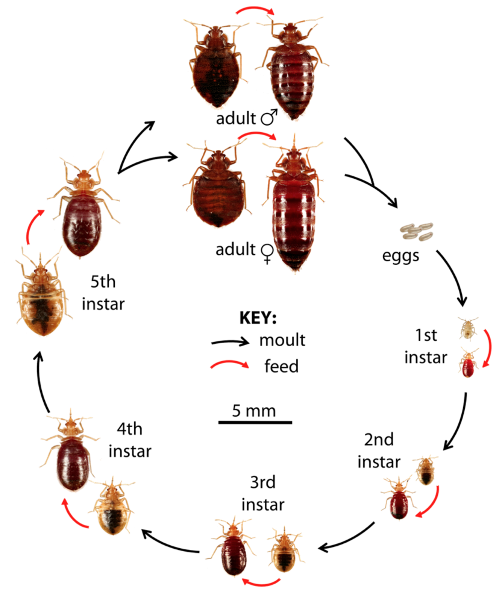 How To Get Rid Of Bed Bugs A Low Cost Diy Extermination Without Toxic Poisons Dengarden Home And Garden