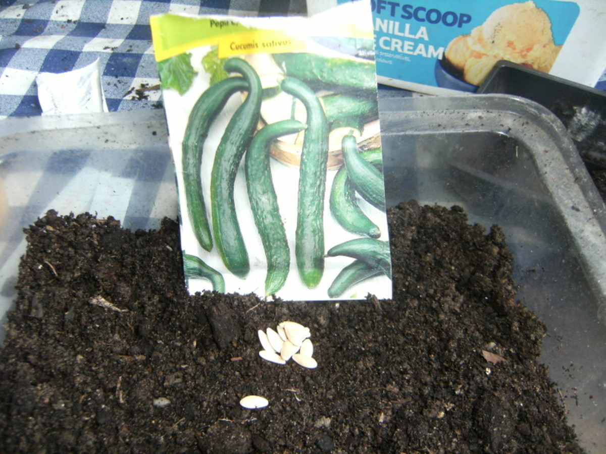 how to grow cucumbers from seed