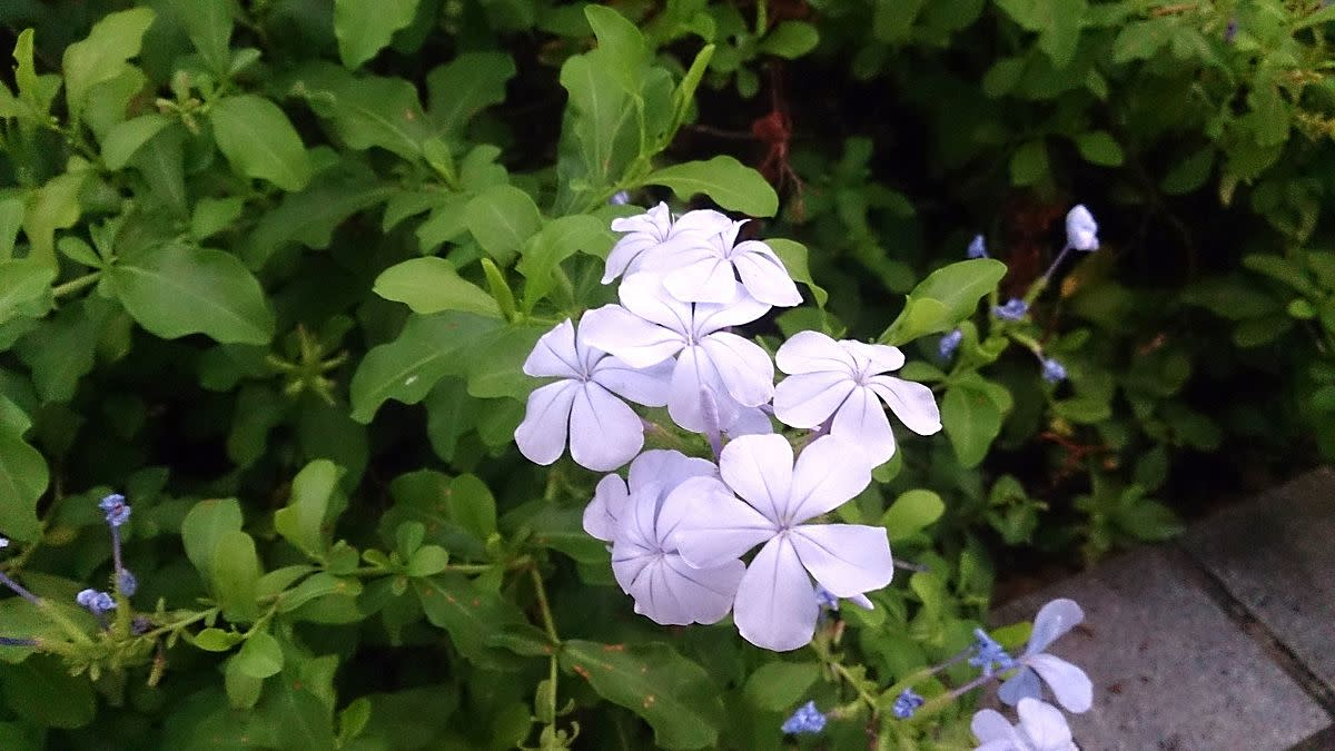 Plumbago auriculata. Common names: Cape Leadwort.