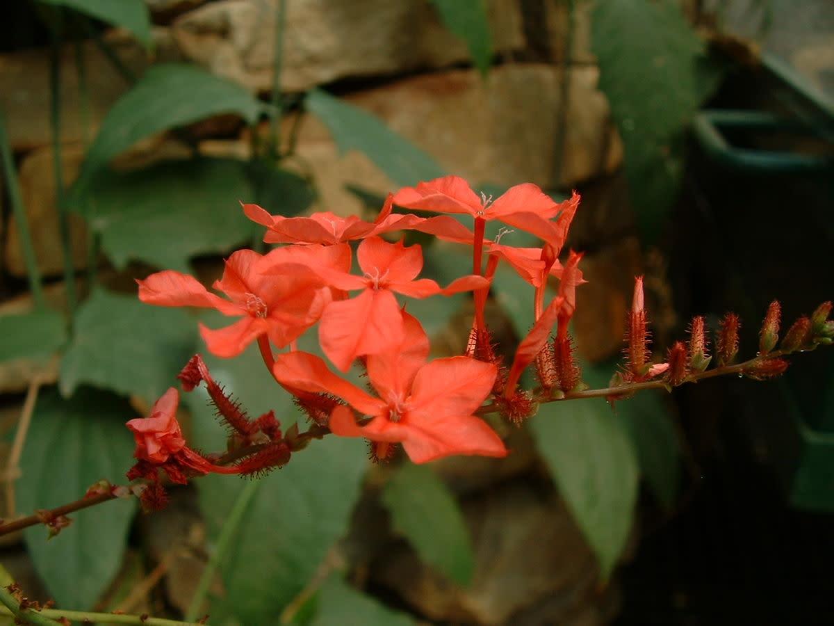 Plumbago rosea