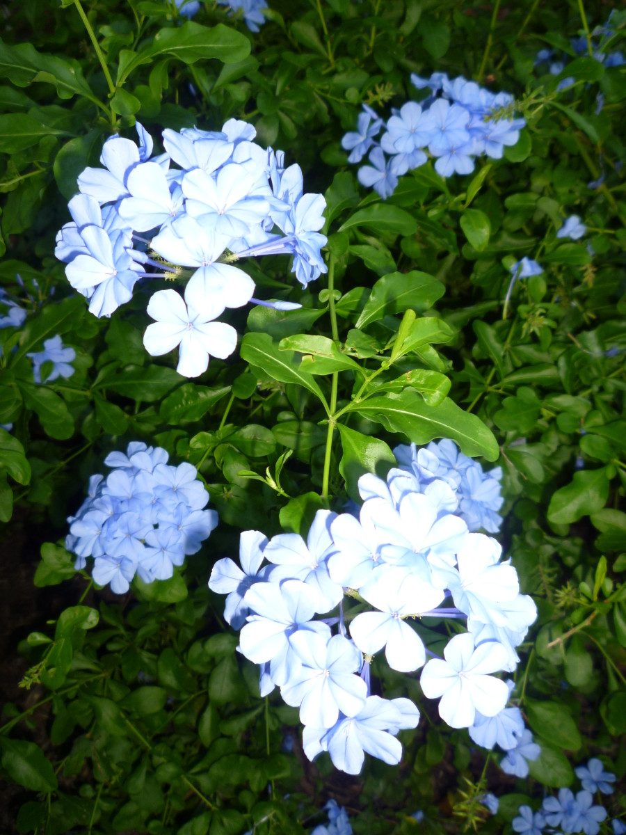 Plumbago plant in our backyard garden area