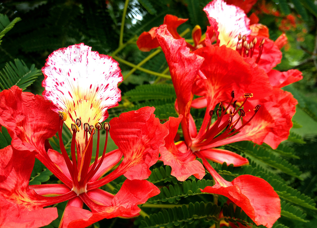 Royal Poinciana flowers.