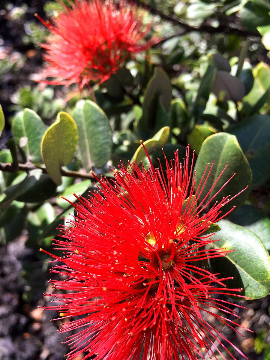 Ohi'a Lehua blossoms.