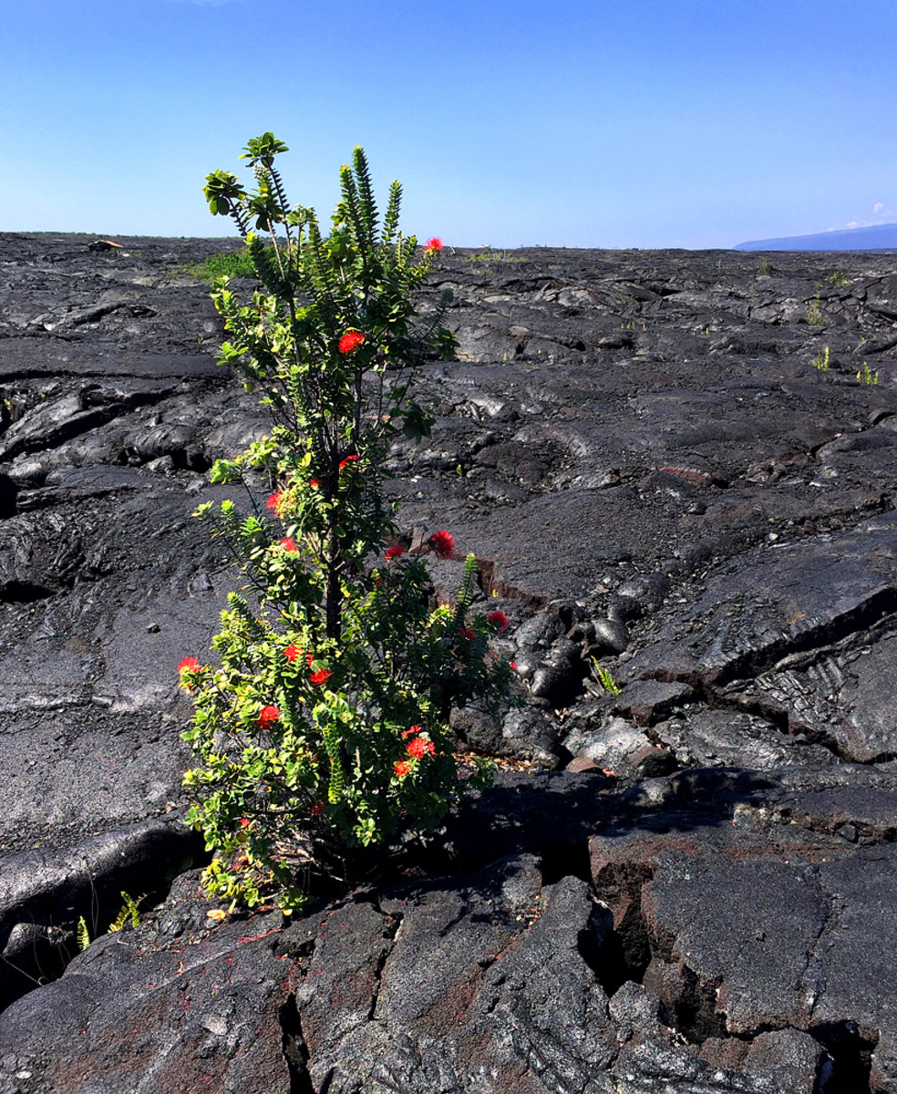 In Hawaii, Ohi'a Lehua is the only tree that thrives on lava land.